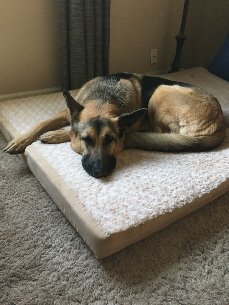 Bo, my German Shepherd, laying on his dog bed looking sleepy and a little sad.